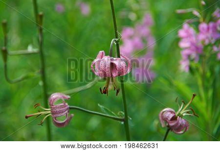 near lake Baikal Russia.Lilium martagon  Russia  siberia