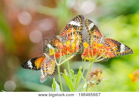 Beautiful Monarch butterflies pollinating on colorful flower in a garden