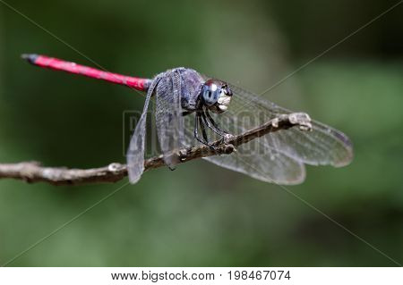 Image of dragonfly perched(Lathrecista asiatica)on a tree branch. Insect Animal
