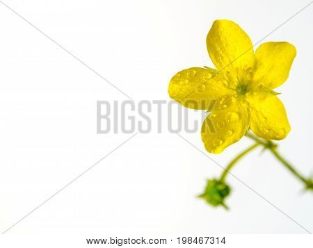 Yellow Flower Of Small Caltrops Weed Isolated On White Background