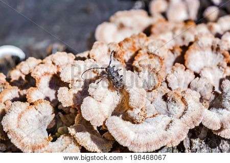 Deltapatents beetle Longhorn beetle (lat. Mesosa myops) on the mushroom Derelictio ordinary (lat. Schizophyllum commun ). Berdsk Novosibirsk oblast Siberia Russia August