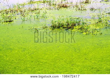 Texture of duckweed and grass blade in wetland