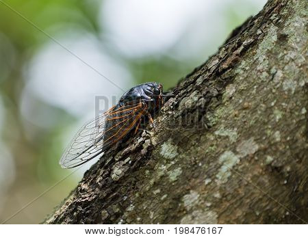 Cicada isolated on tree background