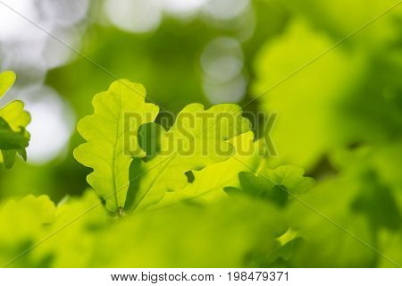 fresh green leaves with copy space. Green oak leaves in the sun with selective focus and defocused background. Nature background in summer