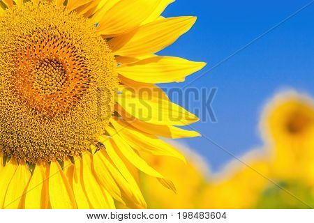 A wasp flies near a sunflower A close-up of one young bright yellow sunflower on a sunflower field in a warm sunny day the background is blurred a blue noob
