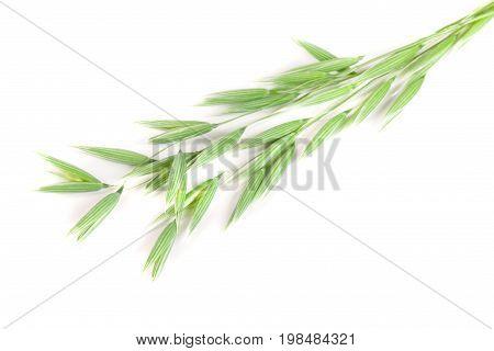unripe oat spike isolated on white background.