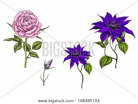 Set with clematis and rose flowers leaves bud and stems isolated on white background. Botanical