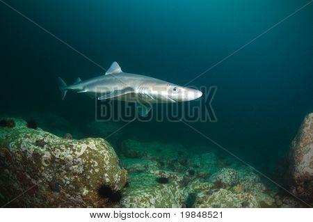 Curious Shark