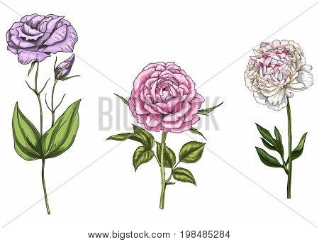 Set with peony rose and eustoma flowers leaves and stems isolated on white background. Botanical
