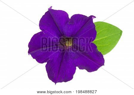violet flower of petunia with green leaves isolated on white background.