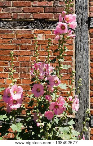 pink hollyhock in front of half timbered wall