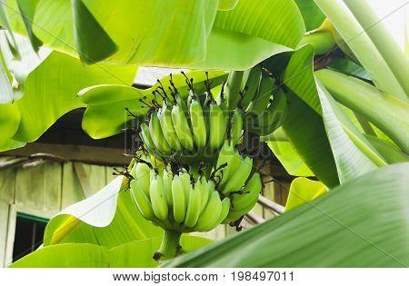 Close up of green banana on the banana tree