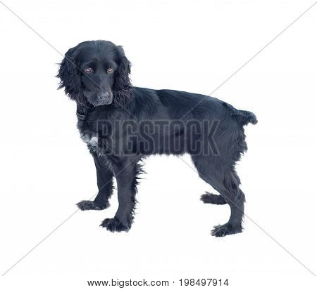 Hunting dog Black Cocker Spaniel isolated on white background standing and looking at the camera