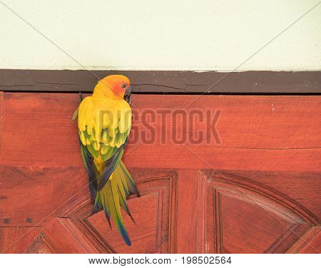 Beautiful yellow parrot (Sun Conure) image on a wooden door.