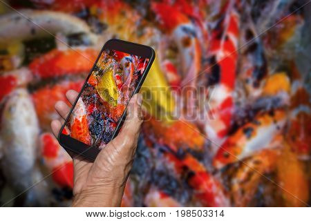 Man hand holding and using smart phone photography Colorful koi fish swimming with blurred colorful koi fish swimming in a crowded pond for background.