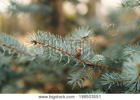 blue spruce twig with hoar frost in autumn morning, shallow focus