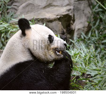 Side angle shot of panda bear chewing on bamboo shoots