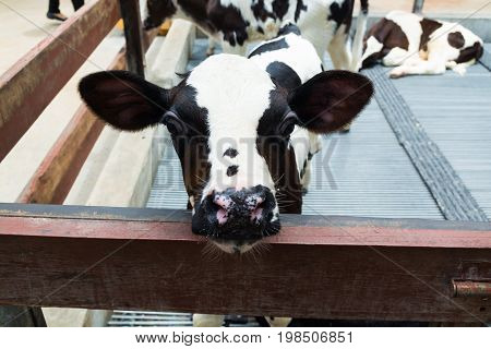 Cute Little Black And White Cow Or Calf In Nursery Cowshed Or Livestock Farm