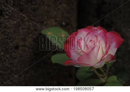 A white and pink rose in a garden