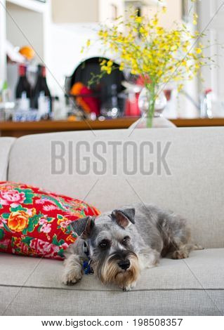 Schnauzer lying on couch by cushion at home