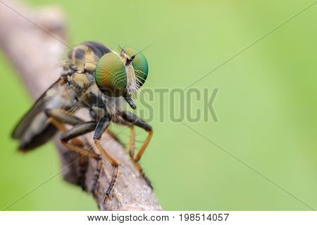 Super macro Robber fly on branch with green background