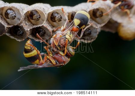 Close up wasps constructing and protecting larvae on the nest