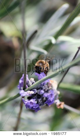 Macro Bee On Lavender
