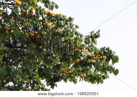 Ripe apricots stand on the tree very beautiful, full of fruit trees,