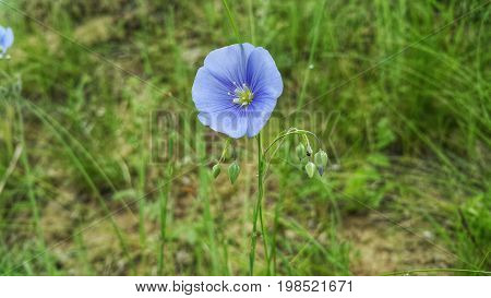 Purple flax flower. Flax close-up. Flower of flax is a meadow flower. A flower of flax grows on meadows