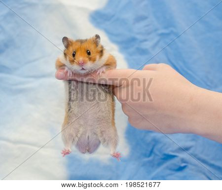 Funny cute Syrian hamster hanging on a human finger (against a bright blue background) selective focus on the human finger
