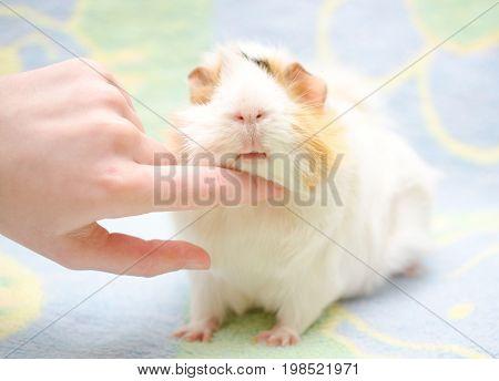 Human hand scratching a cute guinea pig under its chin