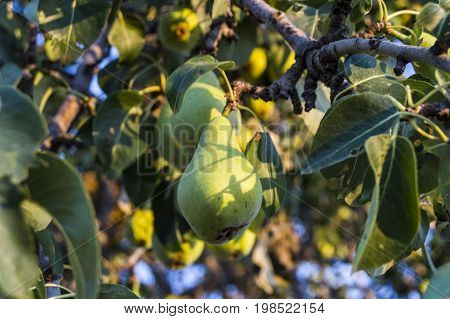 Pear tree, wonderful looking natural pears, pear fruit has begun to mature,
