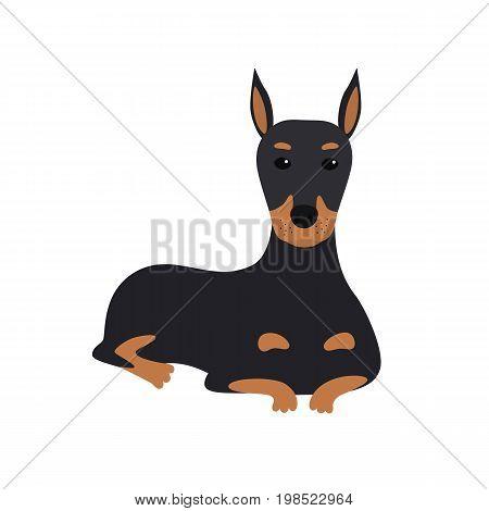 dog Doberman lies. Flat vector illustration isolated on white background