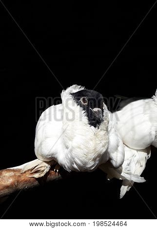 Beautiful German helmet pigeon in a cage (on the black background) pigeon mail concept