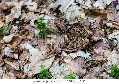 frog in forest close up near caumasee in switzerland