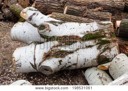 Birch logs with moss on the ground. Photo can be used as a whole background.