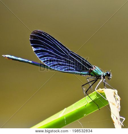 Closeup of dragonfly. Macro shot.  (Calopteryx virgo)
