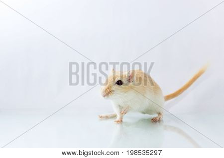 Gerbil On White Background