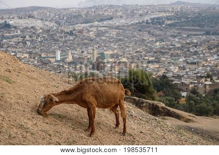 Goat And A Fez Panorama, Morocco, North Africa