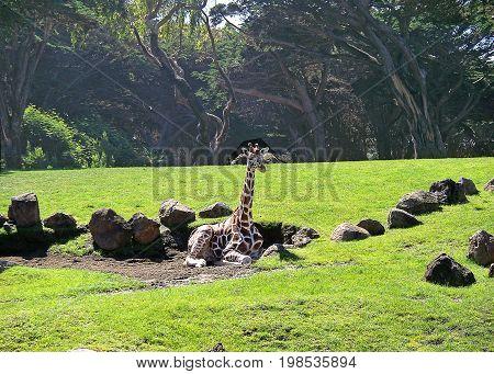 Resting giraffe on a green field, San Francisco Zoo