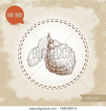 Hand drawn sketch style bergamot fruit with leaf. Kaffir lime vector illustration. Organic food. Citrus on vintage background.