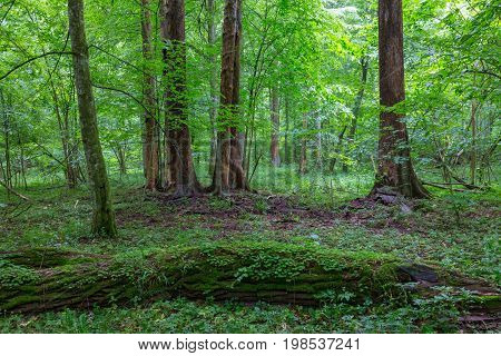 Bark-less dead spruces in old summertime deciduous stand, Bialowieza Forest, Poland, Europe