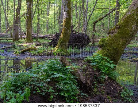 Whole moss wrapped hornbeams with some sorrel in springtime, Bialowieza Forest, Poland, Europe