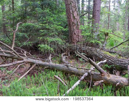 Broken pine tree lying on Stag's-Horn Clubmoss bed in summer, Bialowieza Forest, Poland,  Europe