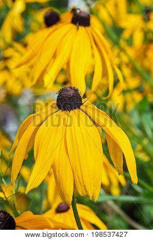 Rudbeckia fibrous (lat. Rudbeckia Hirta). A popular ornamental plant. Flowers closeup