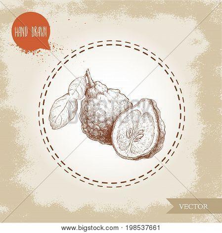 Hand drawn sketch style composition of bergamot fruits. Kaffir lime wholewith leaf and half vector illustration. Organic food. Citrus on vintage background.