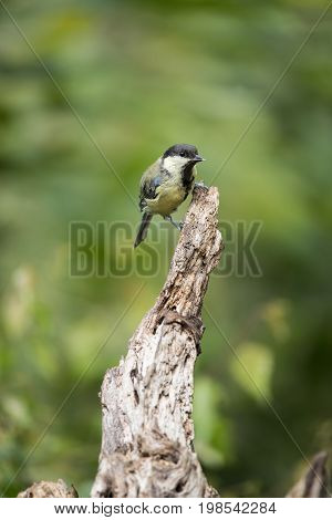 Beautiful Great Tit Bird Parus Major On Tree Stump In Forest Landscape Setting