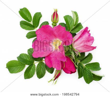 Wild rose flowers and buds arrangement on white background