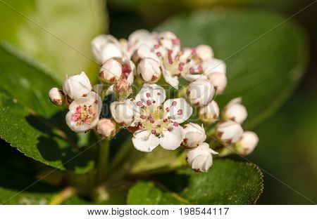 White flowers of blossoming aronia close up