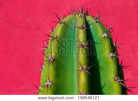 Upper extremity of a cactus replete with long spines.